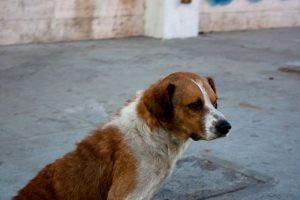 3. Generalmente los perros y gatos abandonados, son mestizos y estos animales son más fuertes, sanos y menos vulnerables a enfermedades características de los animales de raza Foto:Wikimedia. Imagen Por: