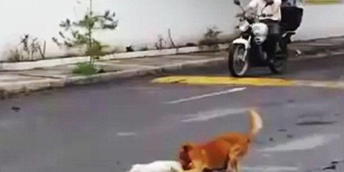 El emotivo video de un perro intenta sacar de la calle a su amigo muerto
