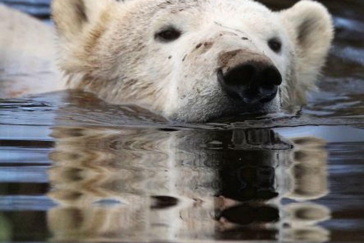 9. Según el Consejo de Defensa de Recursos Naturales de Estados Unidos (NRDC, por sus siglas en inglés), la mayoría de los osos polares se mueven en enormes trozos de hielo por el Ártico en busca de pareja y la caza de focas. Foto:Getty. Imagen Por: