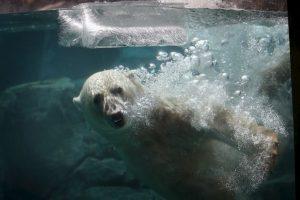 1. La situación de los osos polares ha dejado en evidencia las consecuencias del cambio climático. Foto:Getty. Imagen Por: