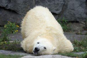 17. Esto podría traer como consecuencia la extinción de los osos polares a finales de este siglo. Foto:Getty. Imagen Por: