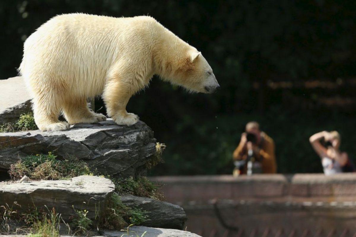 2. En 2008 los osos polares fueron incluidos en la lista de la Ley de Especies en Peligro. Foto:Getty. Imagen Por: