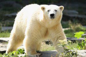 8. Esto les dificulta cazar focas. Foto:Getty. Imagen Por: