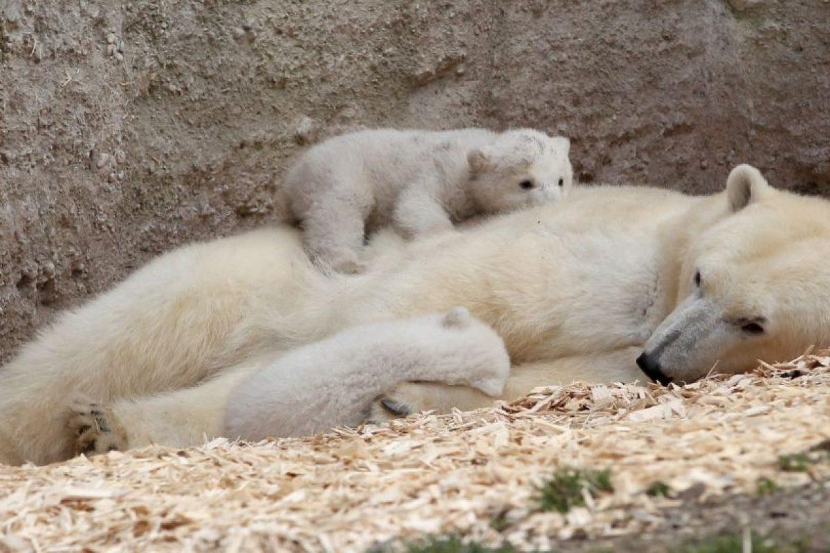 12. El hábitat del oso polar en el Ártico se está derritiendo. Foto:Getty. Imagen Por: