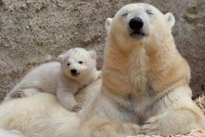 11. Sin esas capas de hielo el oso no puede sobrevivir. Foto:Getty. Imagen Por: