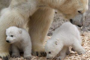 13. El oso polar podría convertirse en el primer mamífero que pierda el 100% de su hábitat a causa del calentamiento global, según NRDC. Foto:Getty. Imagen Por: