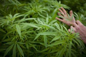 Estas cepas tienen una relación CBD-THC más alta de lo normal Foto:Getty Images. Imagen Por:
