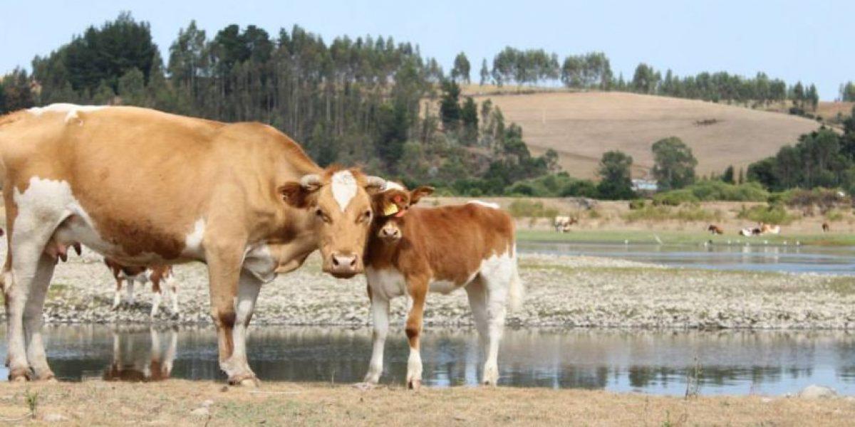 La insólita manera en que una vaca o un chancho pueden quedar detenidos