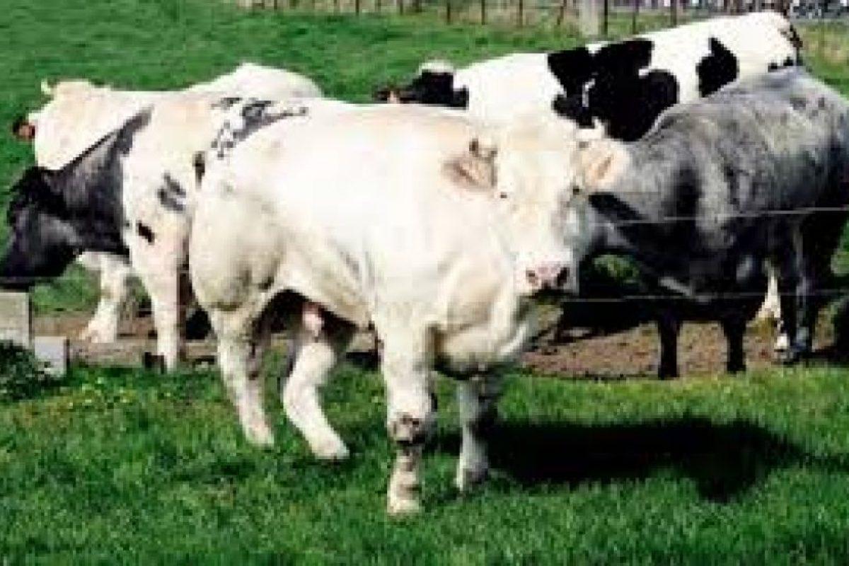 Una de sus vacas daría a luz Foto:http://asmg.footeo.com. Imagen Por: