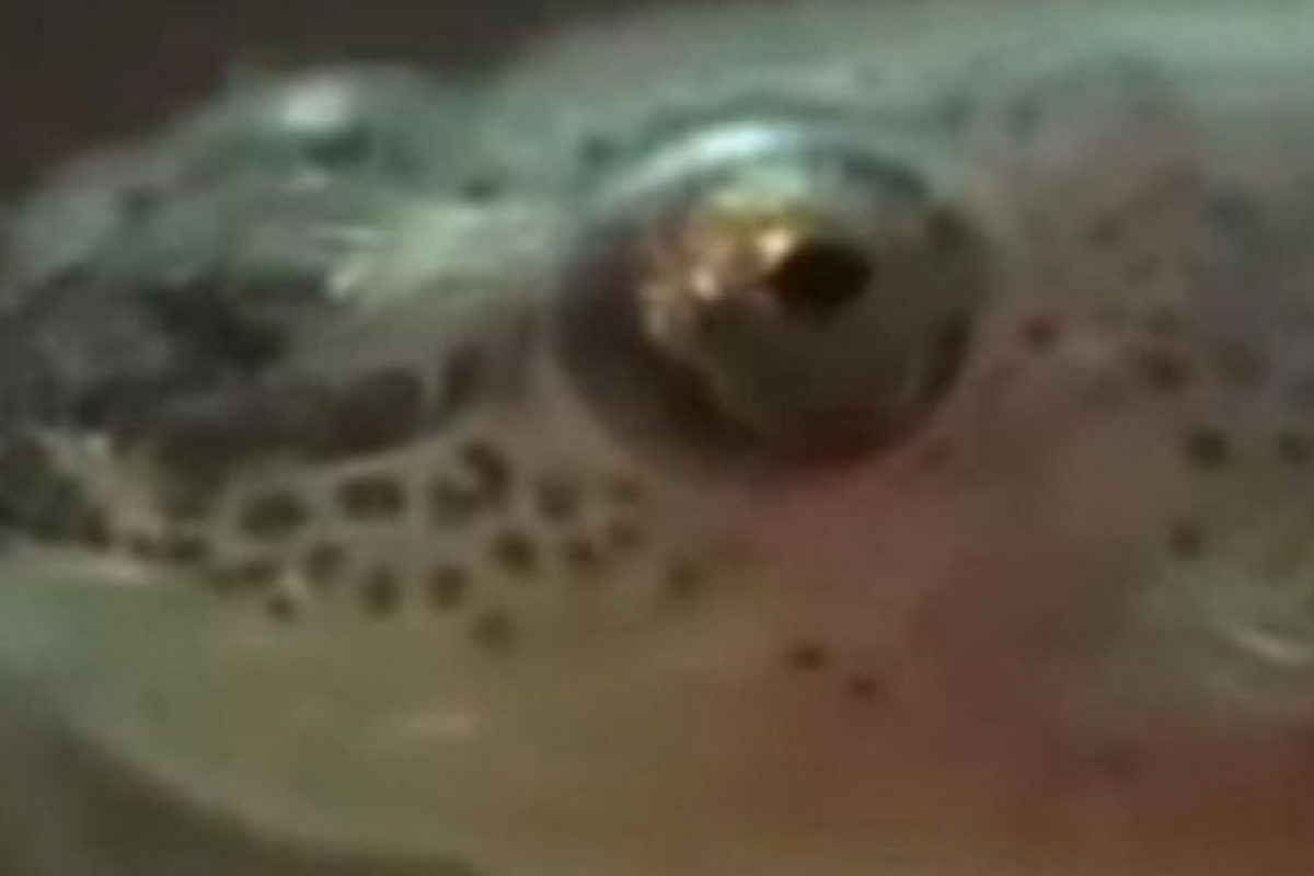 El candirú es un pez que se mete por el recto de las personas en ríos y estanques. Comienza a devorarlo todo. Foto:Getty Images. Imagen Por: