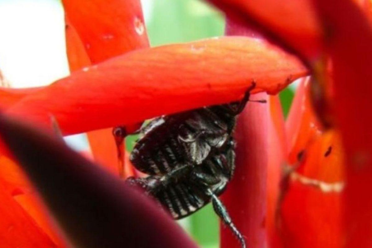 El escarabajo también se mete dentro de las orejas humanas. Foto:Getty Images. Imagen Por: