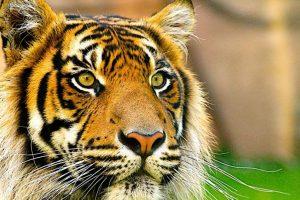 ¿Por qué una selfie podría arruinar la vida de un animal salvaje como un tigre? Foto:Facebook/World Animal Protection. Imagen Por: