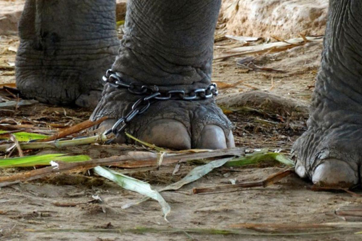 Y son esclavizados para servir al humano Foto:Facebook/World Animal Protection. Imagen Por: