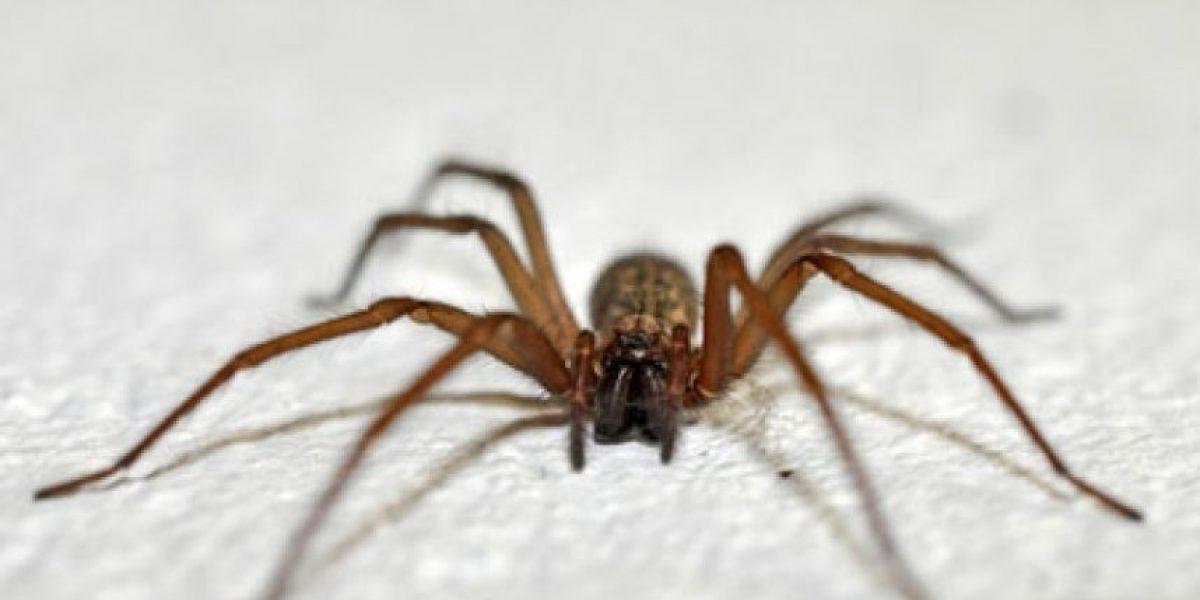 Cómo reconocer a la peligrosa araña de rincón y qué hacer frente a una mordedura