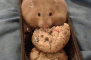 ¿Es una galleta? No, es un hámster con una galleta dentro Foto:Twitter. Imagen Por: