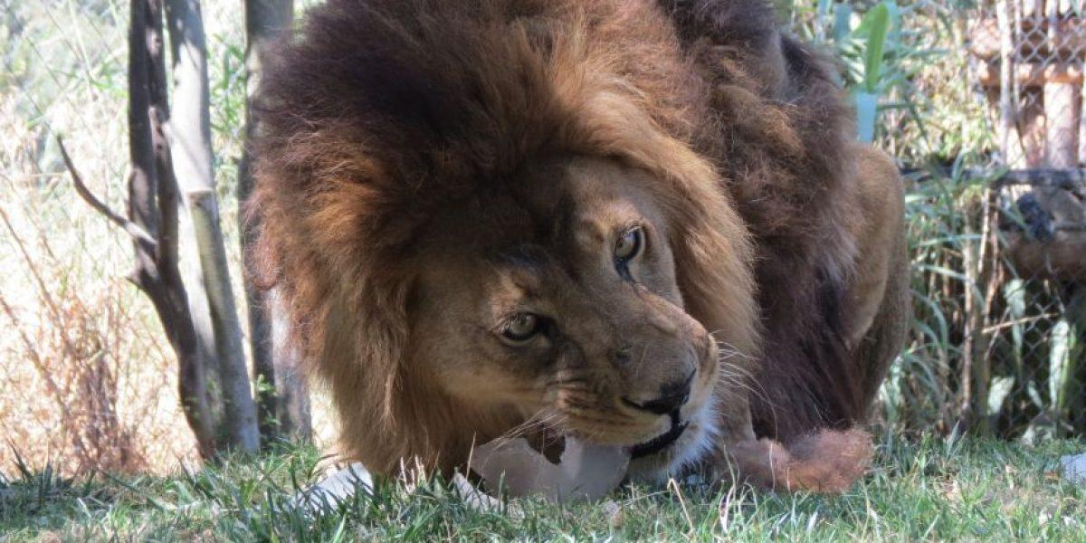 Con la guatita llena quedaron animales del Buin Zoo que recibieron helados para enfrentar el calor
