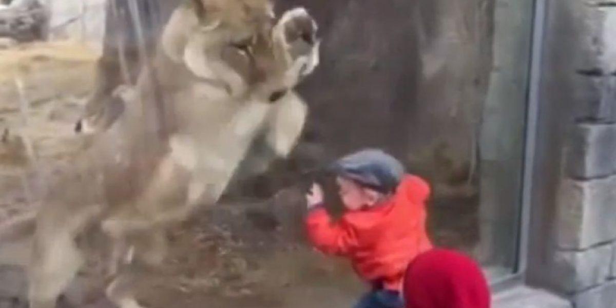 VIDEO: ¡Que miedo! Leona intenta jugar con un bebé en un zoológico