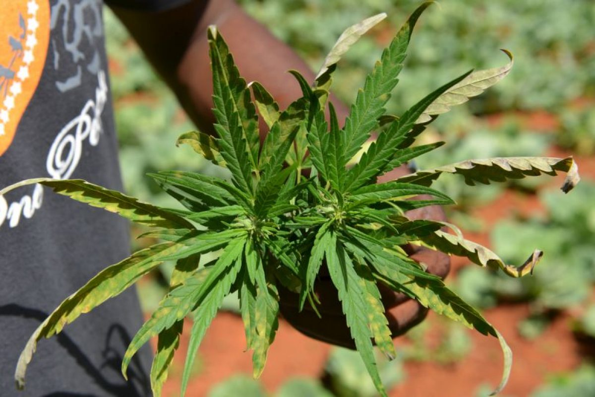 De aprobarse la iniciativa, será legal cultivarla, venderla y distribuirla Foto:AP. Imagen Por: