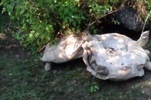 Una tortuga que salvó a su compañera Foto:YouTube. Imagen Por:
