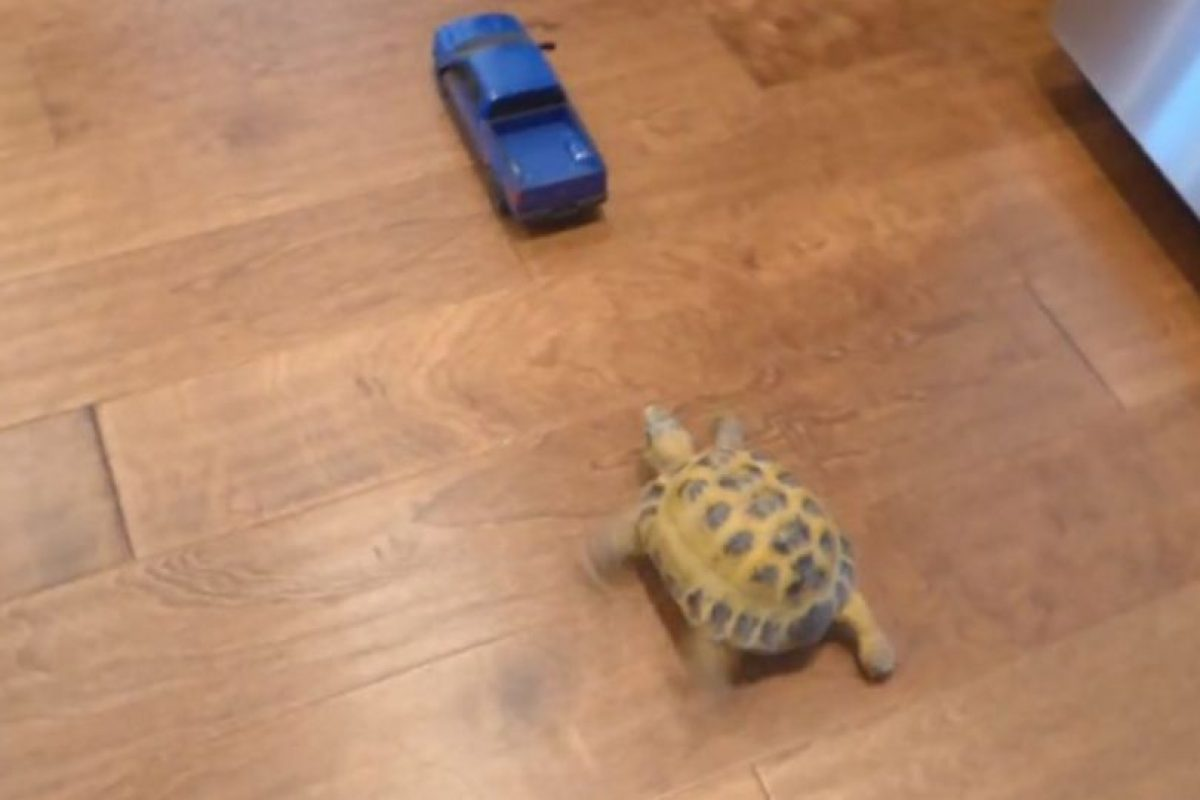 """¡Rápida y furiosa! Esta tortuga se hizo famosa por perseguir un auto a """"gran"""" velocidad. Foto:YouTube. Imagen Por:"""