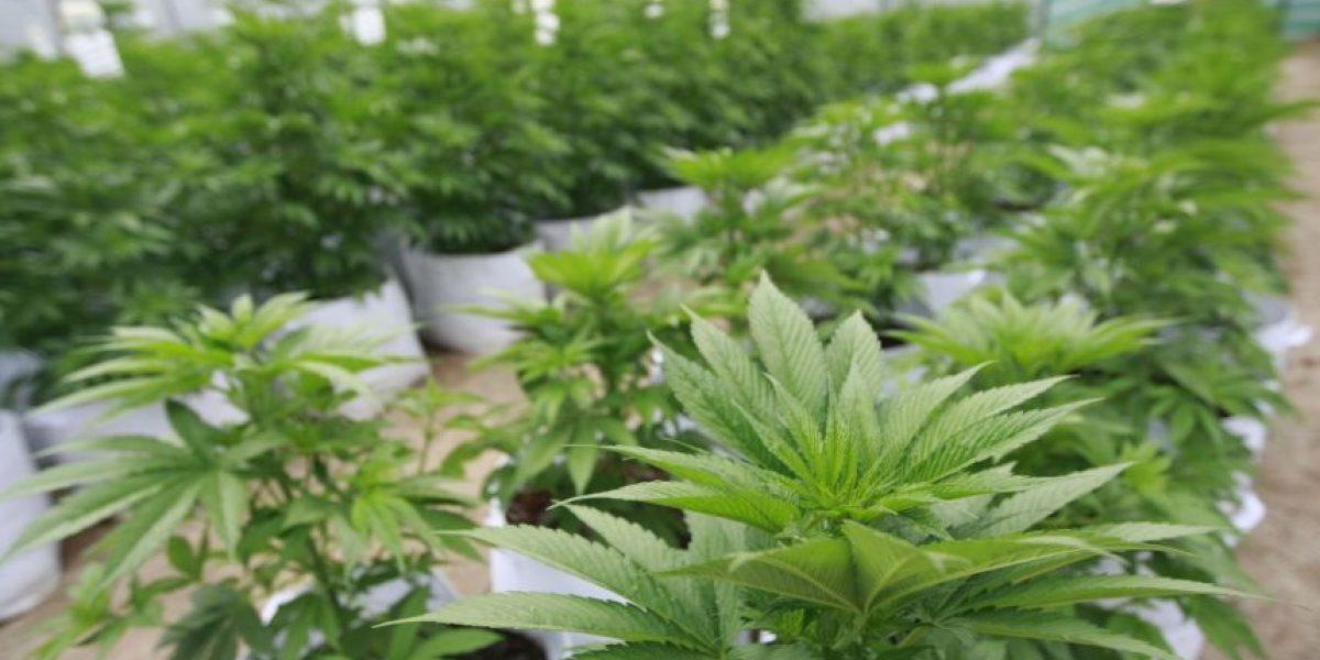 Descubren plantación de marihuana en la comuna de Teno
