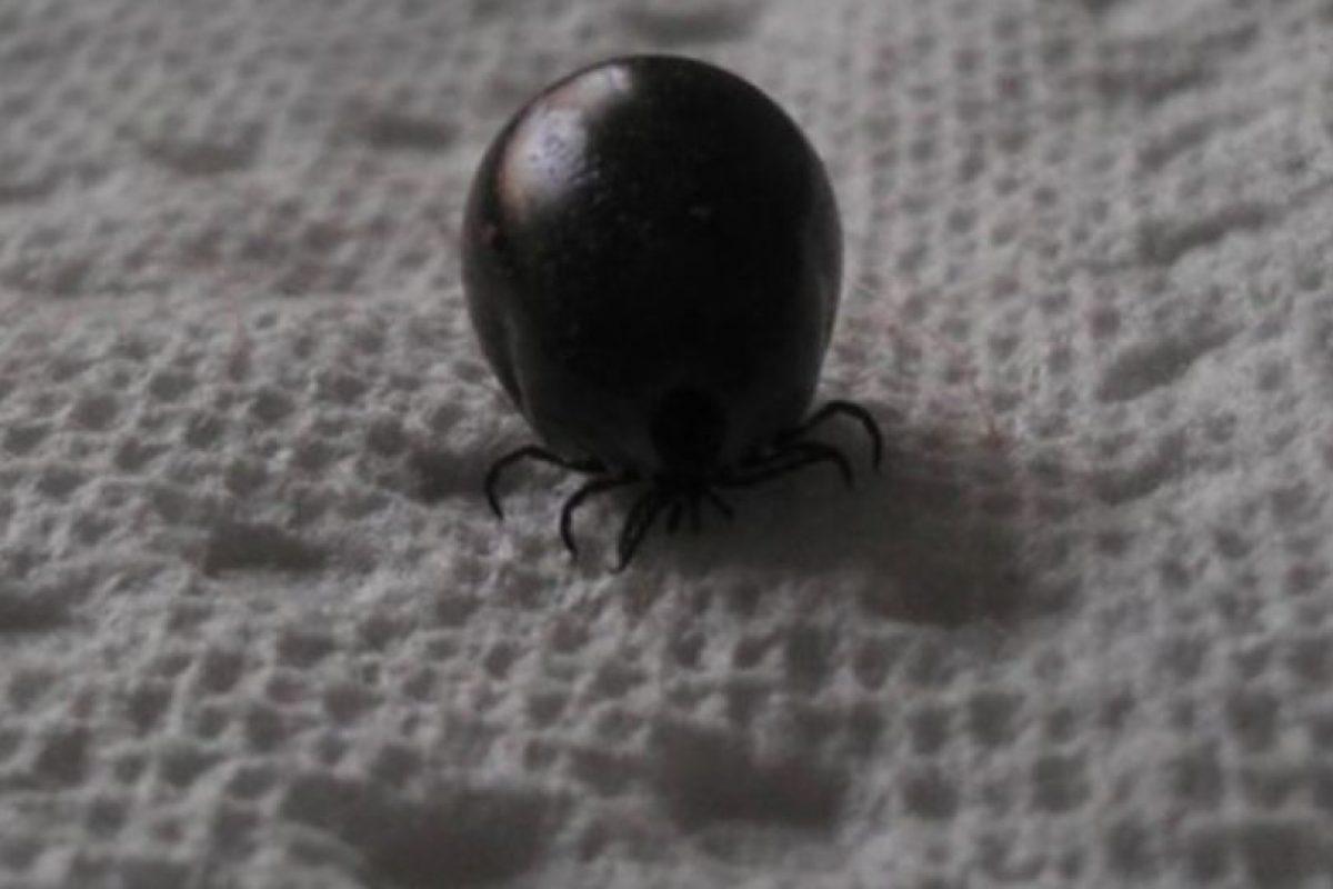 Garrapata pelotita. Foto:Imgur. Imagen Por: