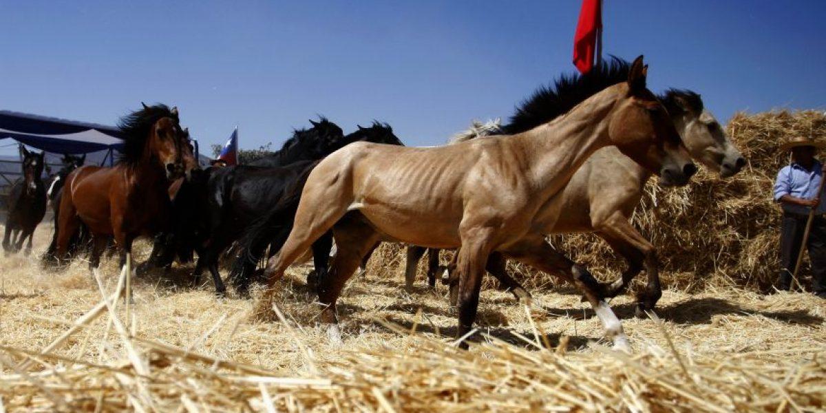 Fotorreportaje: Así se desarrolló una típica trilla a yegua en Colina