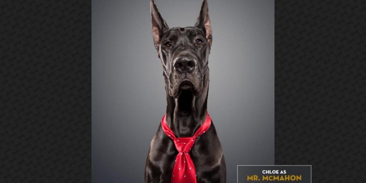 ¡Tiernos! 24 perritos disfrazados como los luchadores de la WWE