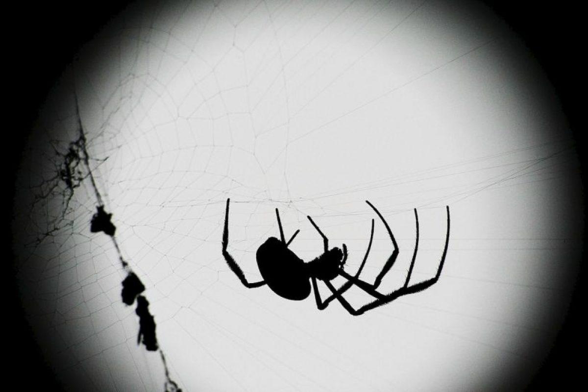 Las arañas cumplen un papel esencial para el mantenimiento del equilibrio natural, ya que son unas voraces depredadoras dentro de la escala en la que se mueven. Foto:Getyy Images. Imagen Por: