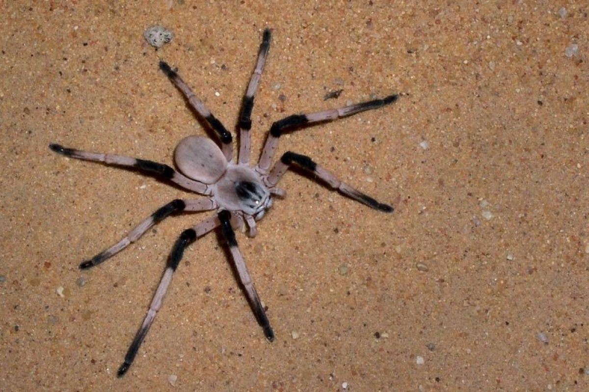 Desde el punto de vista biológico, las arañas constituyen el orden más importante y numeroso en especies actuales de la clase Arachnida Foto:Getyy Images. Imagen Por: