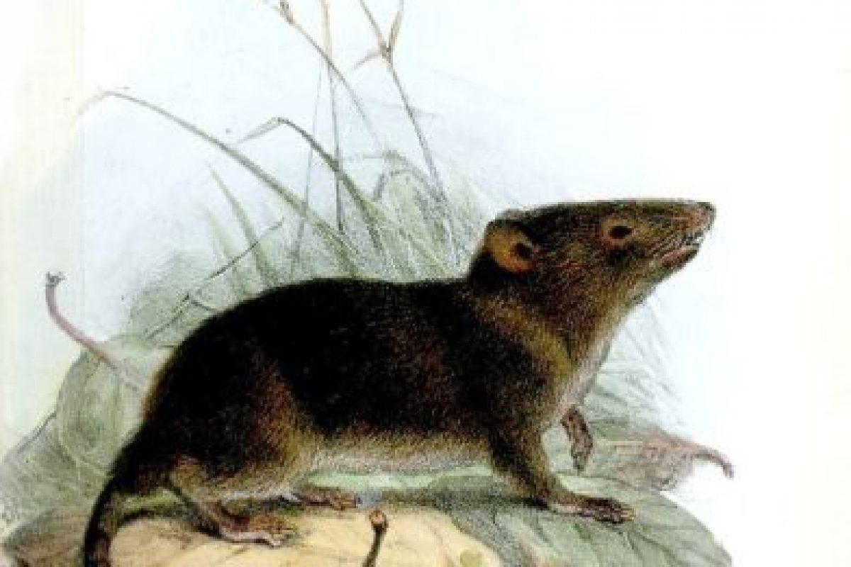 """Una foto de una rata """"gigantesca"""" tiene en ascuas a los internautas que viven en Londres. Muchos afirman que son exageraciones. Foto:Wikipedia. Imagen Por:"""