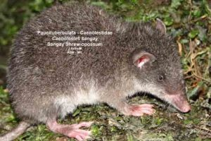 Pero las ratas gigantes no son ninguna leyenda urbana. Sí existen. Foto:Mammalogy.org. Imagen Por: