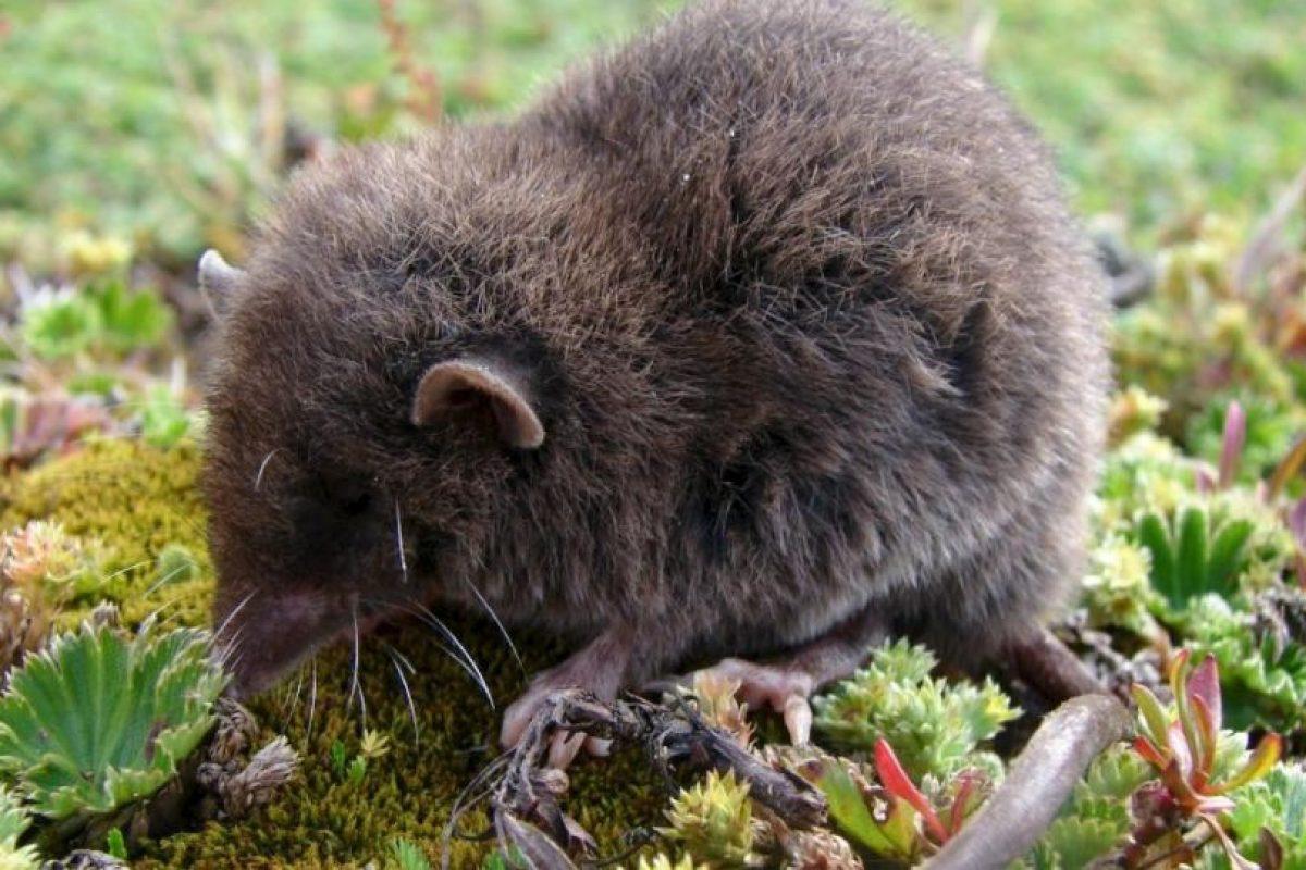 """Han logrado atrapar a muy pocos. Algunos se """"cuelan"""" por accidente en casas cercanas a su hábitat. Foto:Wikipedia. Imagen Por:"""