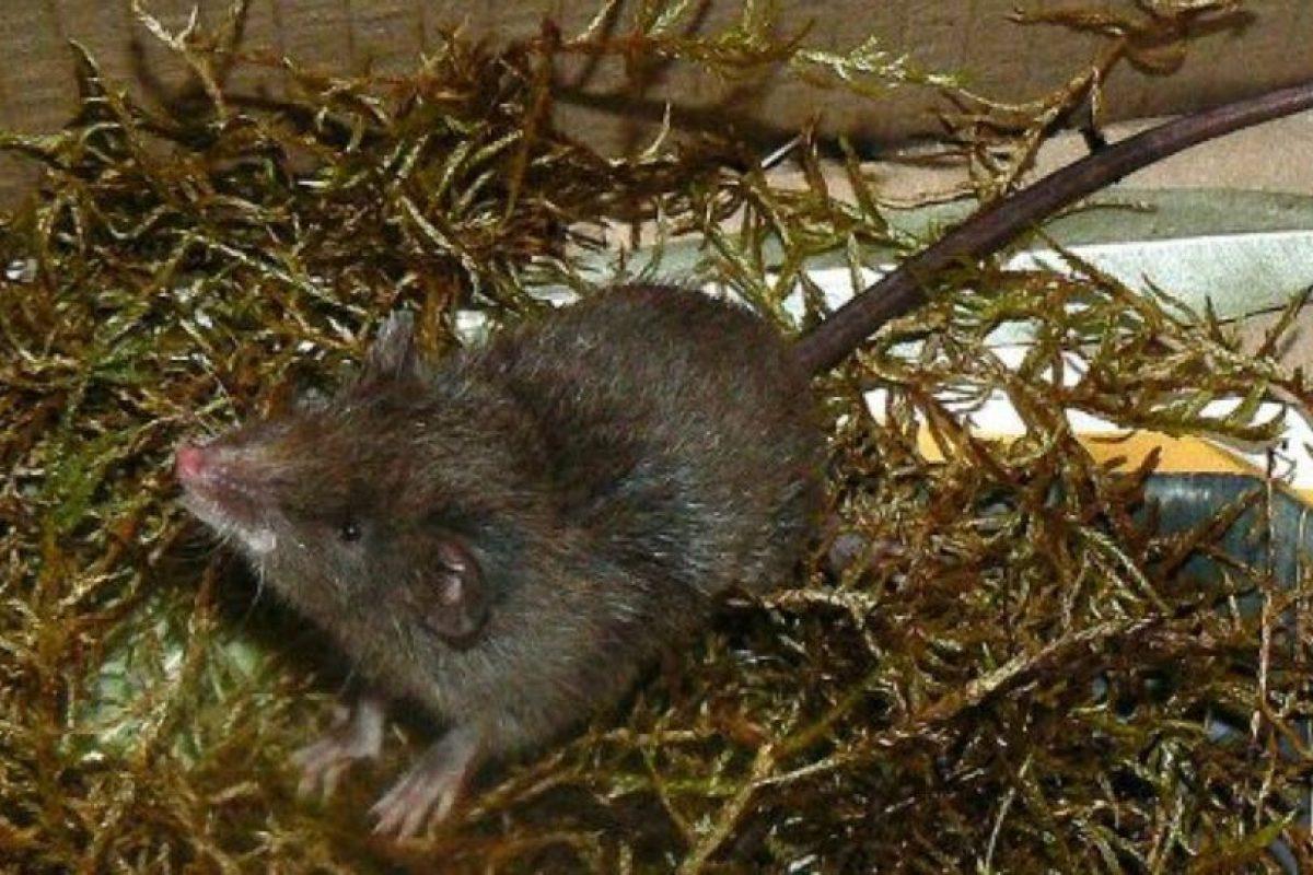 Pertenecen al género Caenolestes. Hay cuatro subespecies de ellos Foto:Wikipedia. Imagen Por: