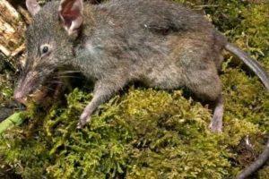 Se alimentan de invertebrados y frutas. También de pequeños vertebrados. Foto:Planet-Mammiferes.org. Imagen Por: