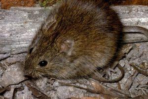 Pero no son como la rata (más pequeña en comparación a un runcho) que se apareció en Londres Foto:AnimalDay. Imagen Por: