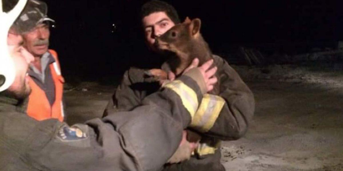 Dramático rescate de Pudú en pleno incendio forestal