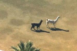 Así como Bonnie y Clyde, dos llamas enfrentaron persecusión mediática y policial al haber escapado de su refugio en Arizona Foto:Twitter. Imagen Por: