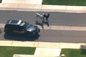 Incluso la policía estuvo al lado de los animales. Foto:Twitter. Imagen Por: