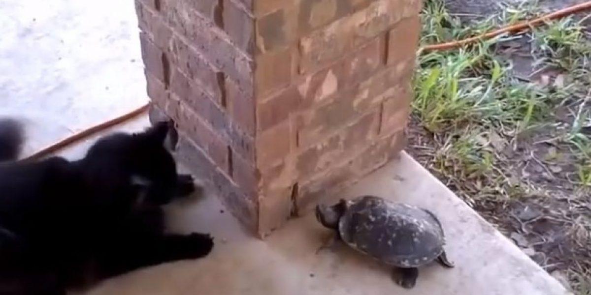 VIDEO: ¡Encantadores! Persecución de gato y tortuga se hace viral