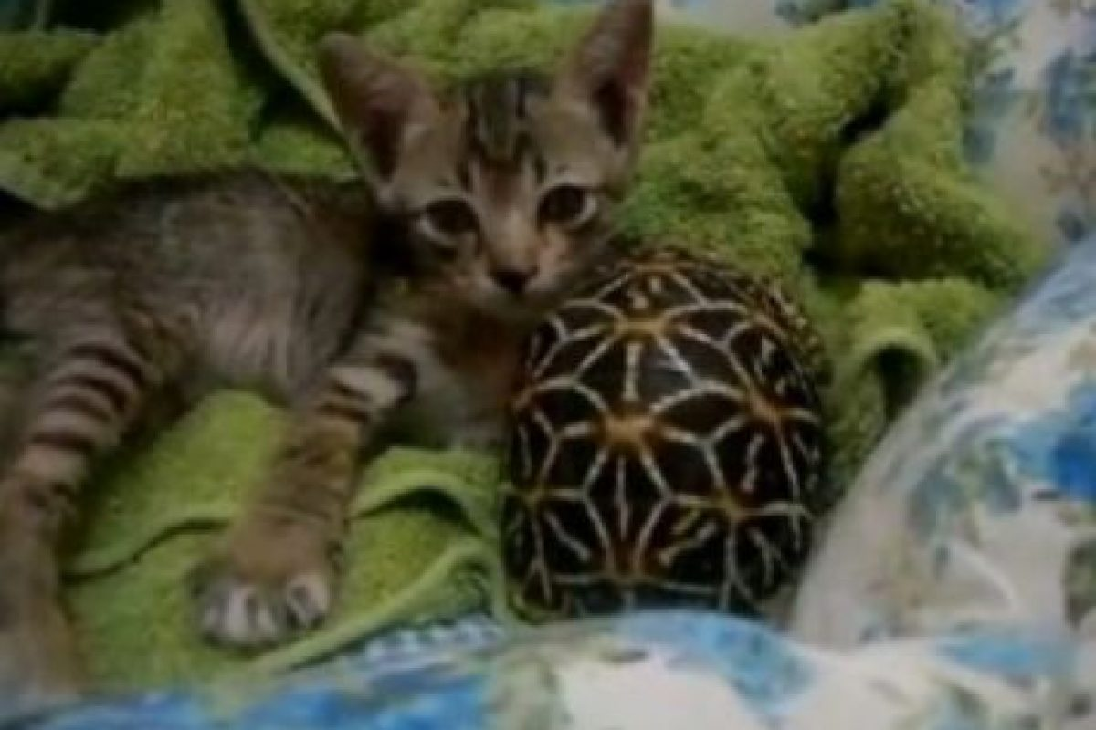 Foto:Tumblr.com/tagged-gatos-tortugas. Imagen Por: