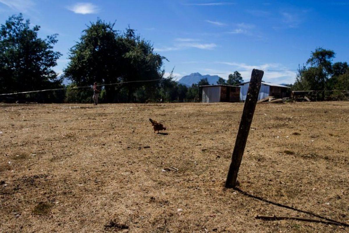 Mientras, en la región de la Araucanía familias han sufrido la muerte de sus animales, especialmente de vacas, debido a la grave sequía que afecta a la zona. Foto:Agencia Uno. Imagen Por:
