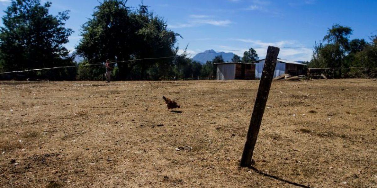 Sequía en La Araucanía afecta al ganado y podría influir en el precio de la leche