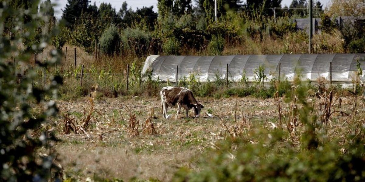 Galería: Dramáticas imágenes de la devastadora sequía que afecta a la región del Biobío