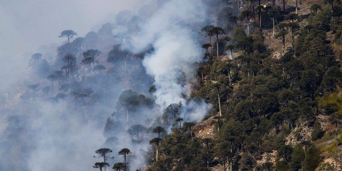 ¡Lamentables! Mira las fotos del incendio que está arrasando con milenarias araucarias en Conguillío