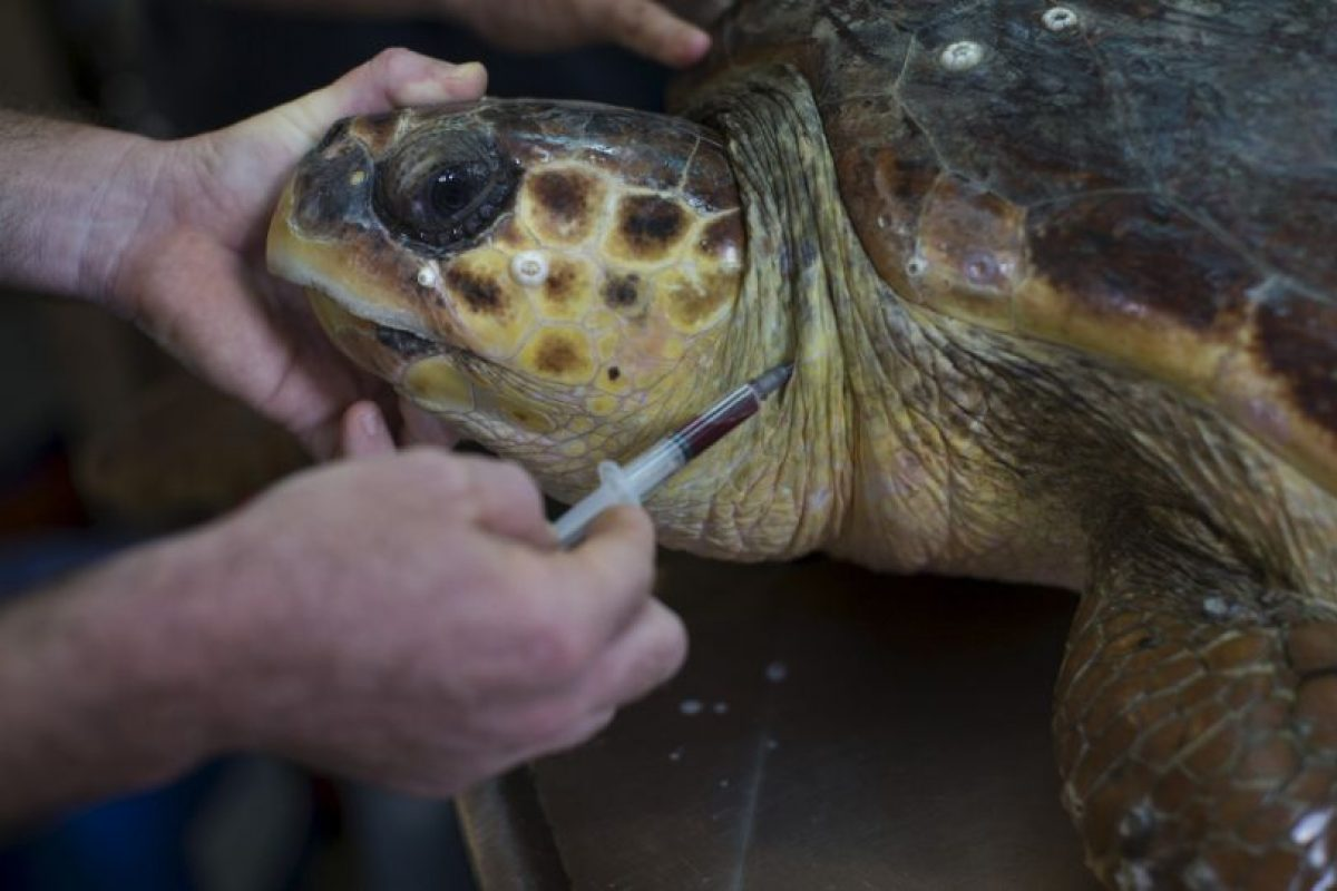 La vida de una tortuga marina puede parecer relajada y sin preocupaciones, pero tienen varios depredadores que considerar. Foto: Getty Images. Imagen Por: