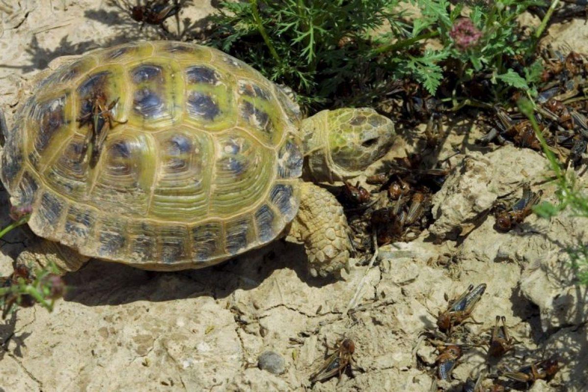 Casí todas las tortugas terrestres se caracterizan por se vegetarianas, esto eso, por basar su dieta en vegetales. Foto:Getty Images. Imagen Por: