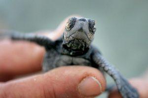Se cree que las primeras tortugas marinas vagaron por la Tierra hace más de 250 millones de años. Foto:Getty Images. Imagen Por: