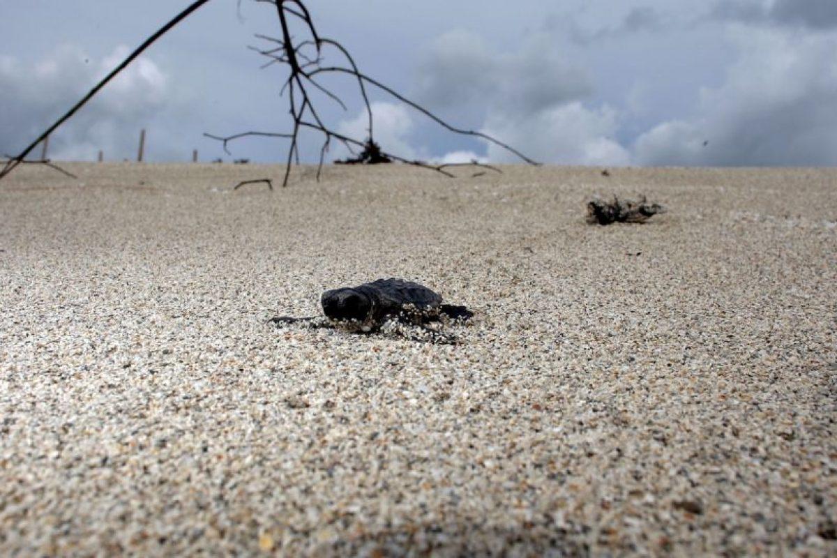 Es importante entender que la anatomía de las tortugas marinas está adaptada para su vida en el agua. Foto:Getty Images. Imagen Por:
