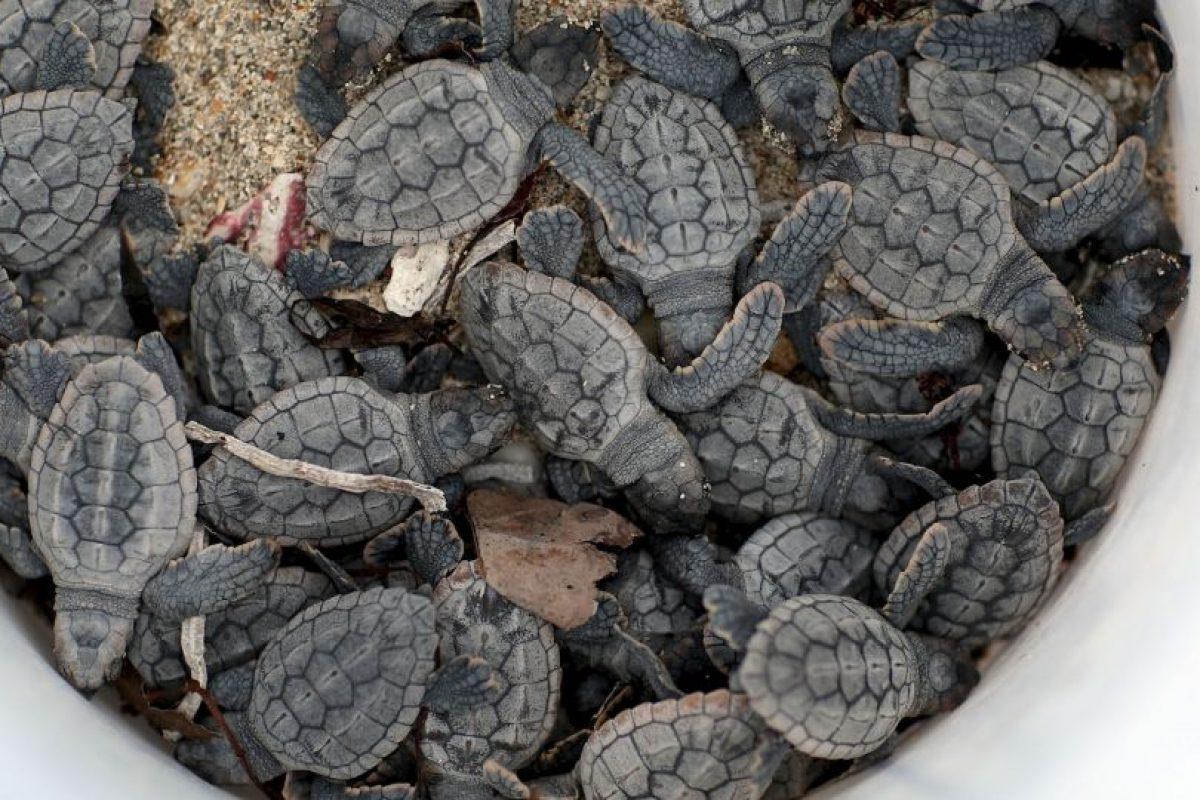 Las tortugas pertenecen al gran grupo de los reptiles y su origen se remonta a mas de 200 millones de años atras Foto:Getty Images. Imagen Por: